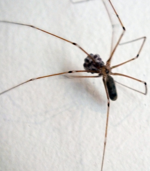 Pholcus spider with egg sac Copyright: Chris Jones