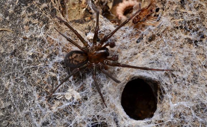 Amaurobius ferox male GL45UL Copyright: Tone Killick