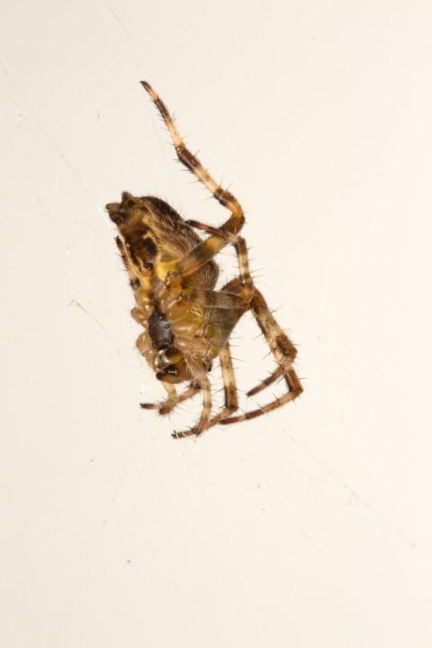 Araneus Diadematus ventral Copyright: Wendy Robinson