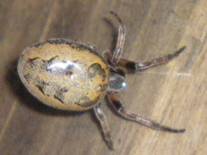 Alleged Larinioides cornutus Copyright: Chaise Pratt