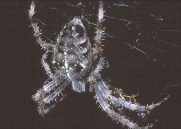 Araneus diadematus Copyright: Peter Harvey
