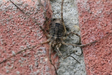 Odiellus spinosus Horsey Corner TG4523 18.11.2013 Picture 2 Copyright: Tim Hodge