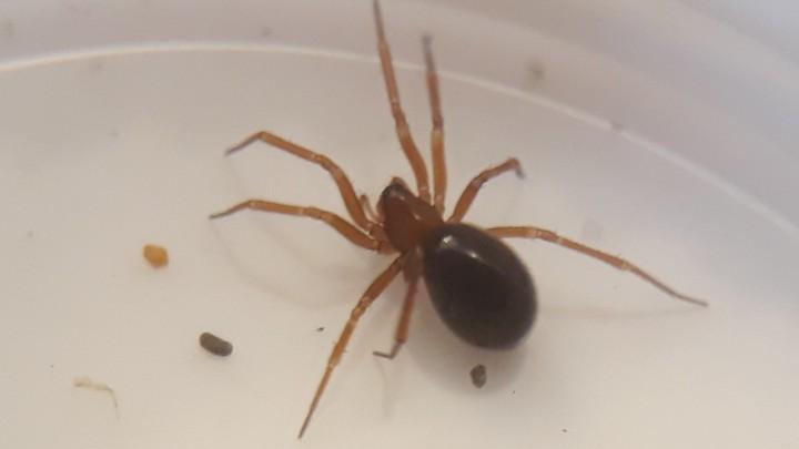 Centromerus sylvaticus female Copyright: Tylan Berry