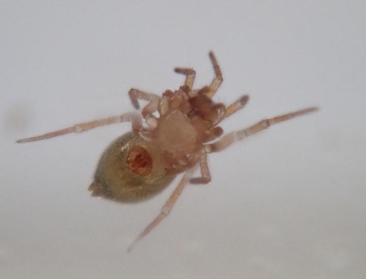 Centromerus serratus (female ventral) Copyright: Tylan Berry