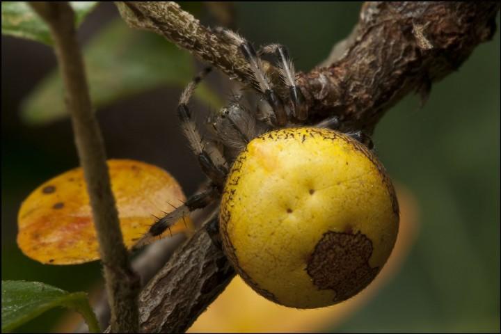 Araneus marmoreus var. pyramidatus 2009 Copyright: Trevor Willis