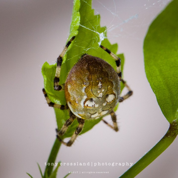 Araneus quadratus Ingleton 2017-09-26 Copyright: Tony Crossland