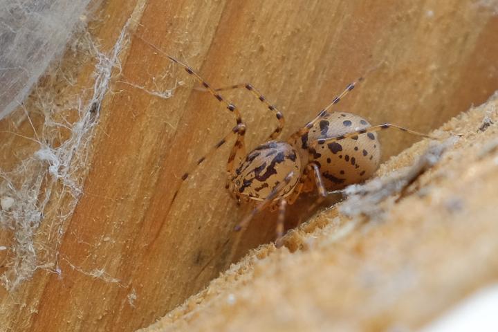 Scytodes thoracica (spitting spider) Copyright: Greg Hitchcock