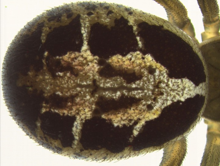 Steatoda nobilis - abdomen Copyright: Andy Keay
