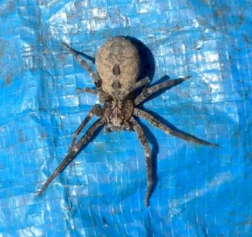 False Wolf Spider Egham close-up Copyright: Janet Hales