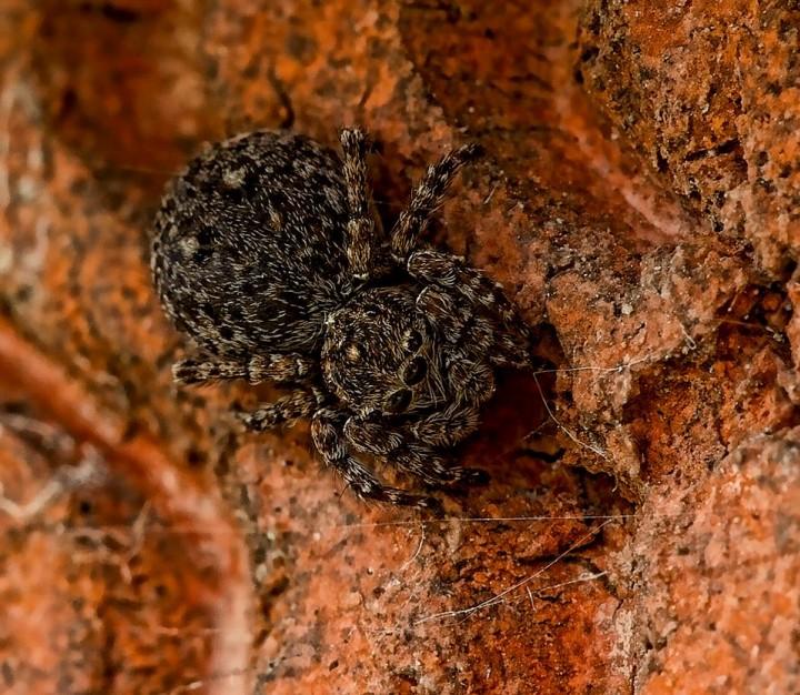 Sitticus pubescens Copyright: Jason Garton