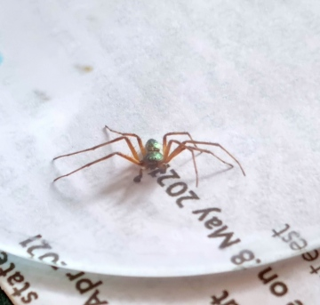 Metallic green spider Copyright: