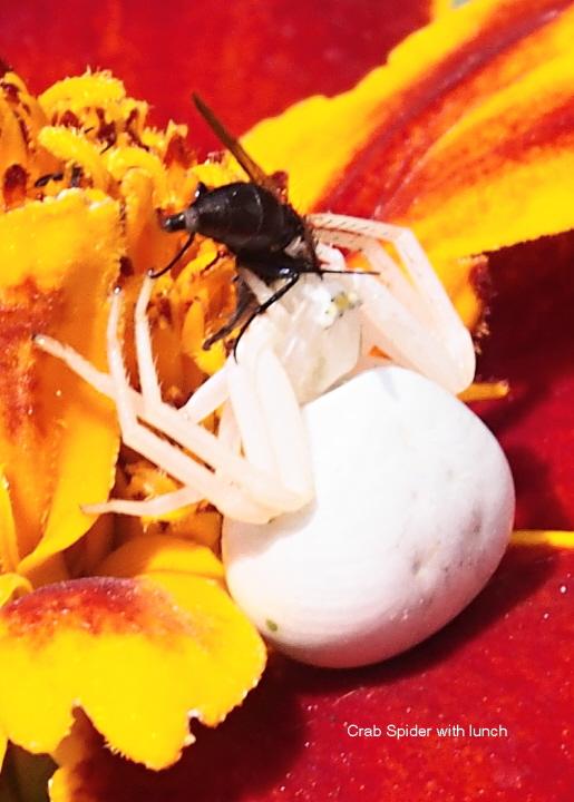 Crab spider on Marigold Copyright: Brian Roberts