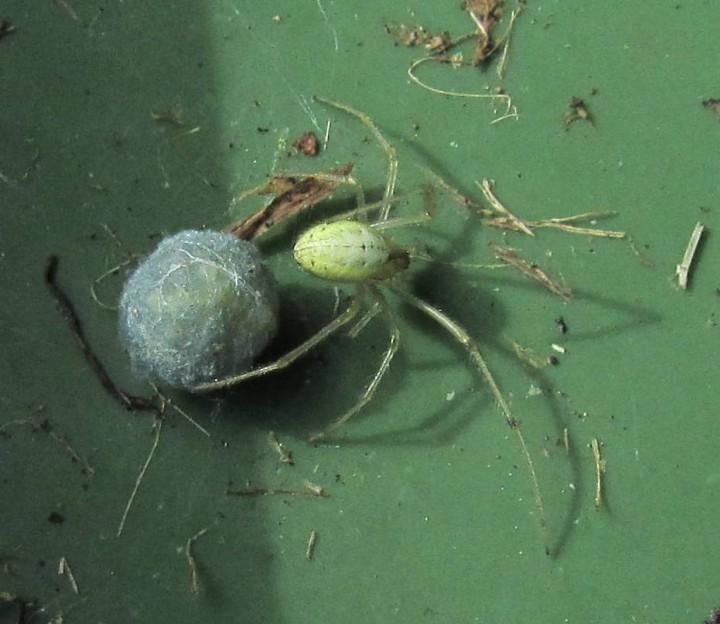 Enoplognatha and egg sac under lid of recycling bin Copyright: Alan Winthrop