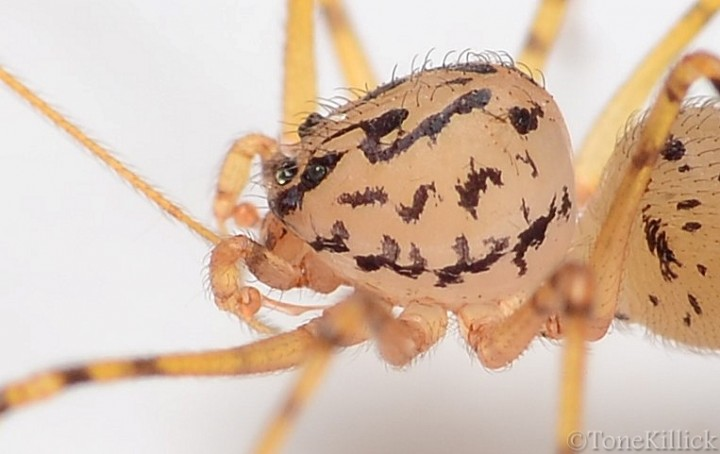 Mature male Scytodes thoracica Copyright: Tone Killick