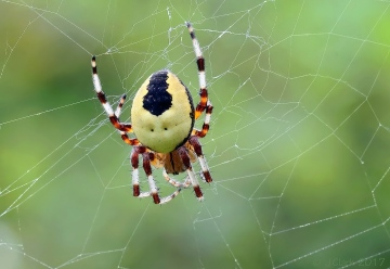 Orbweb Spider - Araneus marmoreus - Var. pyramidatus Copyright: John Clark