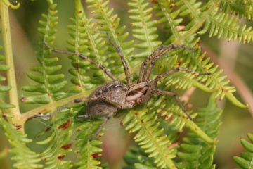 Agelena labyrinthica female Copyright: Ian Cross
