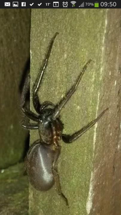 Tube Web Spider in Somerset 1 Copyright: Samantha Thurston
