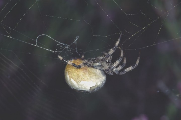 Araneus quadratus in web Copyright: Peter Harvey