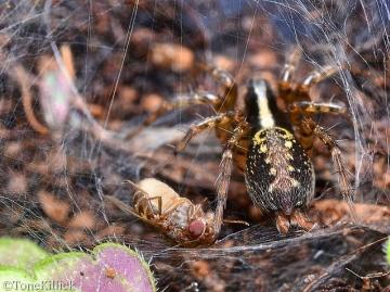 T.denticulata spinneret and abdomen Copyright: Tone Killick