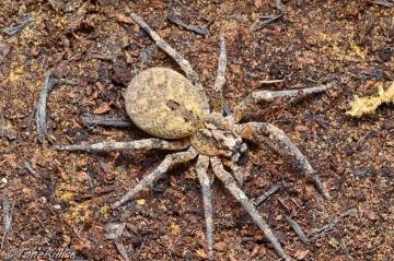 Z.spinimana. Large female 3 Copyright: Tone Killick