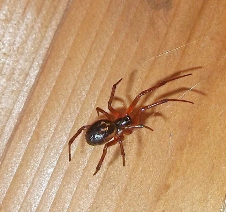False Widow Spider in Taunton Copyright: Chris Lea